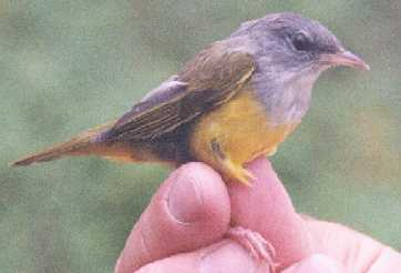 Mourning Warbler (Female)