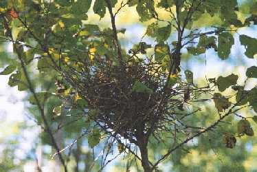 Rose-breasted Grosbeak Nest